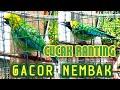 Cucak Ranting Gacor Nembak  Mp3 - Mp4 Download