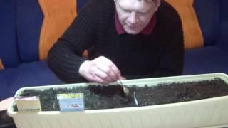 Выращиваем дома салат