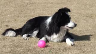 ボーダーコリーの成犬の参考動画です。