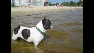 Crying French Bulldog Asks Owner to Return