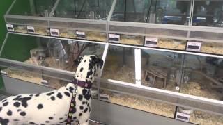 Ira Dalmatian Dog From Pjegava Sanjaska Kennel In Pet Shop Looking Mice And Parrot