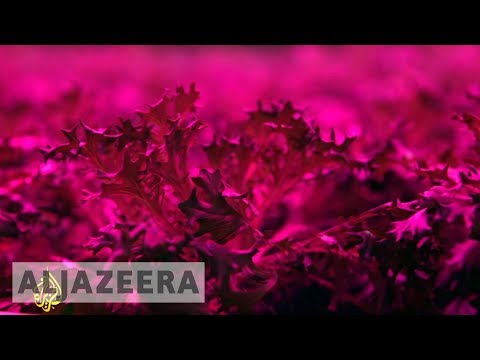 TechKnow - The farmers growing vegetables with LED lights