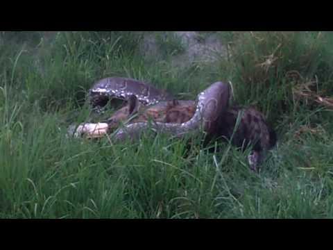 Python vs Hyena 17 minutes video