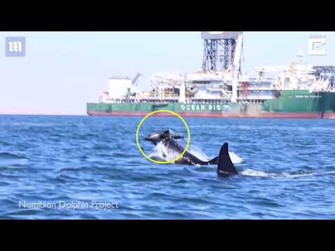 Gruesome footage shows two killer whales attacking a dolphin   Daily Mail Online