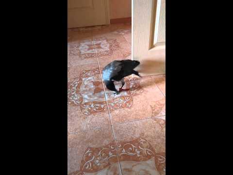Вороненок Миша и маленький котенок знакомство)