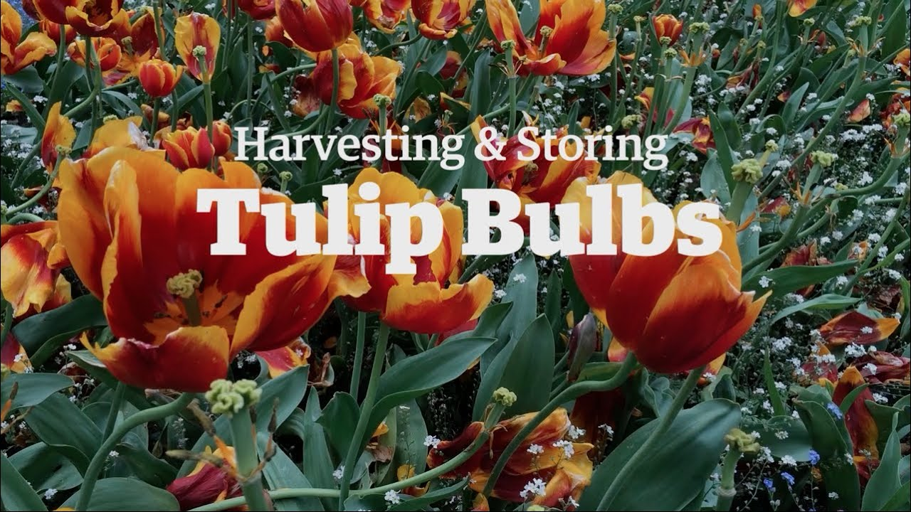 Harvesting And Storing Tulip Bulbs Youtube