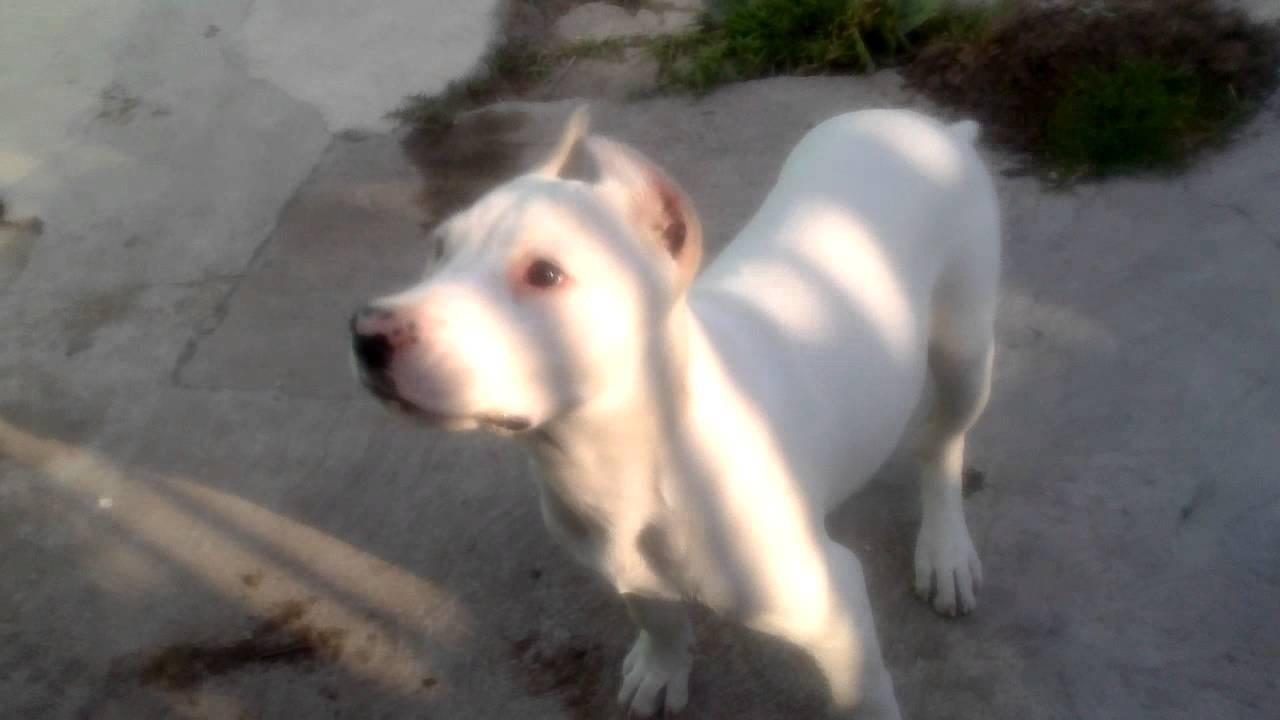 Cachorro Cruza De Pitbull Con Dogo Argentino Youtube