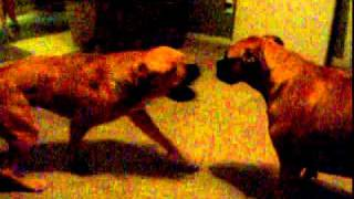 Boxer And Boxer Mastiff Mix Dog Fight.