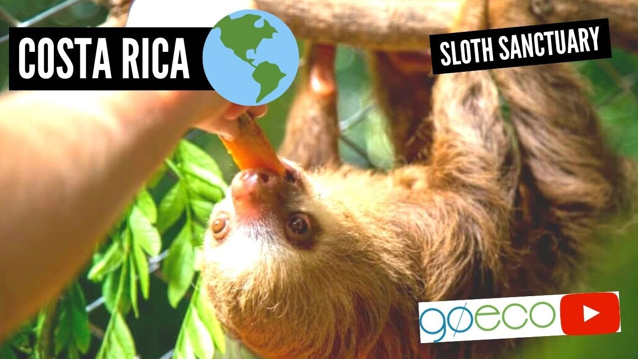 Volunteer with Sloths in Costa Rica | GoEco - YouTube