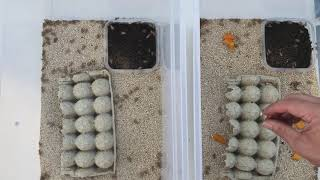 How To Breed & Raİse Crickets - The Critter Depot