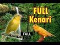 Masteran Kenari Suara Jernih Hd Masteran Burung Gacoan Murai Batu Gacor(.mp3 .mp4) Mp3 - Mp4 Download