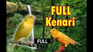 Masteran Kenari Suara JERNIH HD Masteran Burung Gacoan Murai Batu