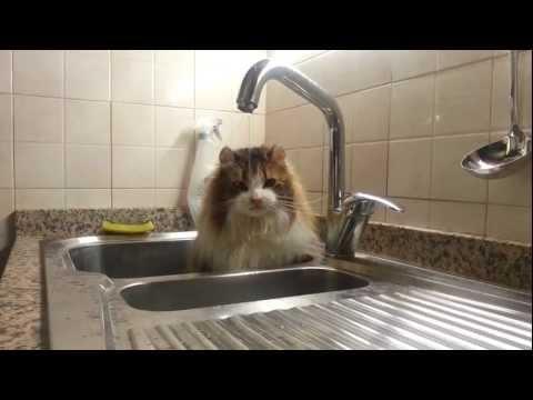 American Curl gatto cat intelligente video divertente