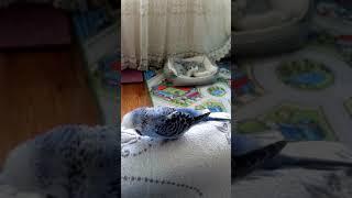 Говорящий ВВ попугай (Чех) Кешуничка
