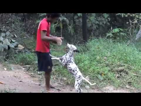 Dalmatian run for the shell ESK TV