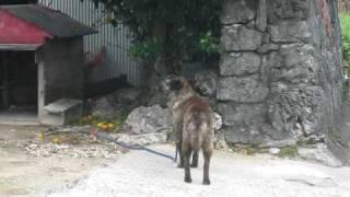 犬が、10時に流れる音楽に合わせてほえます。喜界島.
