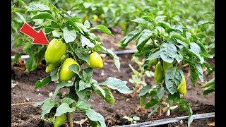 Сделайте это с перцами в жару и увидите какими вырастут плоды! Как поливать перец в жару?