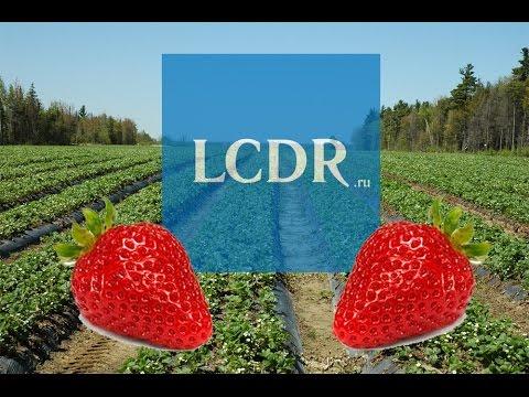A la cueillette des fraises de Lénine