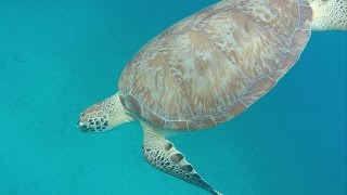 Snorkeling with Sea Turtles in St Thomas
