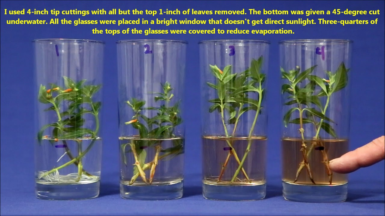Best Way To Propagate Stem Cuttings In Water Youtube