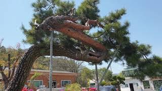 명품 소나무 특수목 [청마루 조경] 대표번호 010-4…