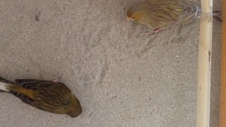 كيف تقدم الرمل للطيور