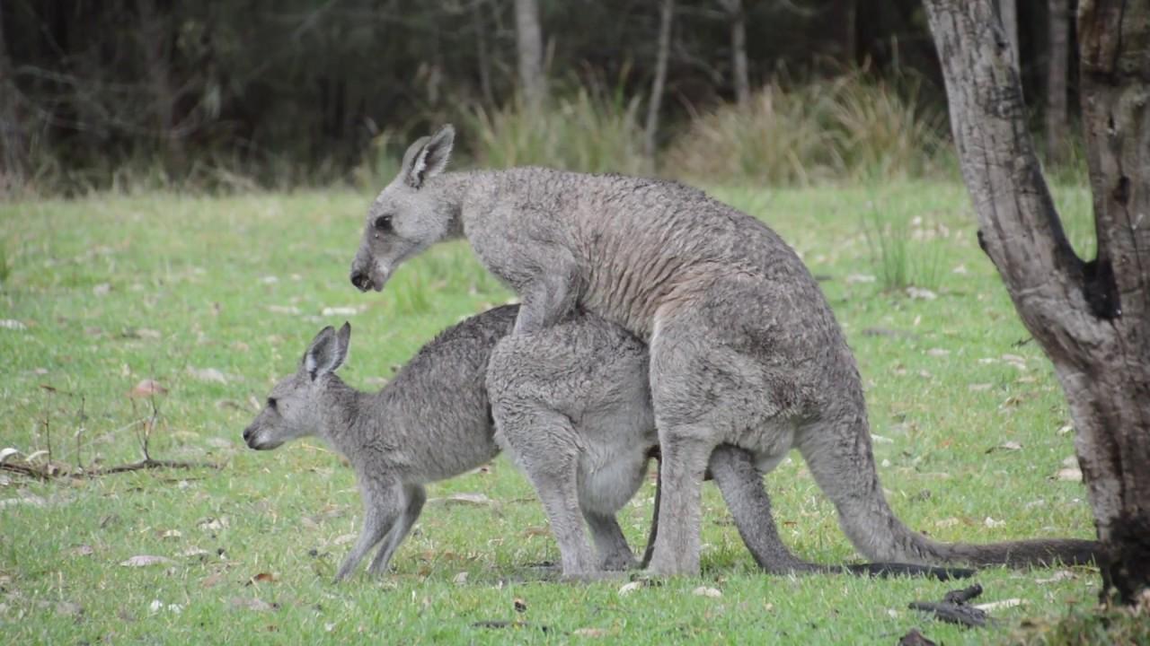 australian wildlife  mating kangaroos 2