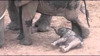 Bébé éléphant fait un caprice - Taïta Hills Kenya