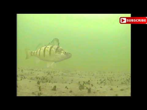 Ice Fishing Under Water Camera - BIG PERCH - Bitter Lake South Dakota Marcum Lx9