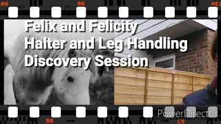 Feral Ponies DISCOVERY SESSION Halter and Leg Handling
