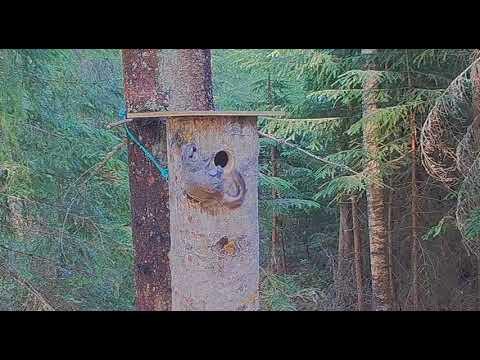 Liito-oravaemo yrittää saada