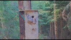 Liito-oravaemo yrittää saada vilkkaan poikasensa pesään