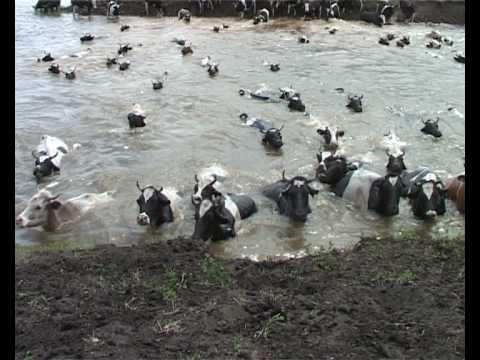 Как плавают коровы видео