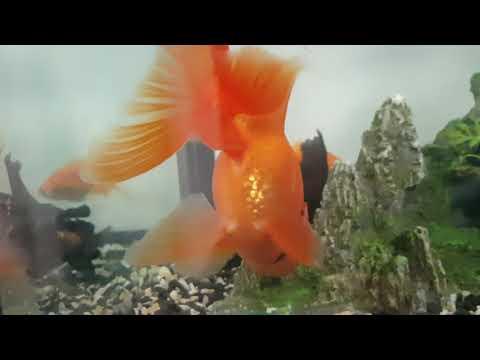 Как размножаются рыбки в аквариуме