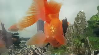 Как размножаются золотые рыбки?