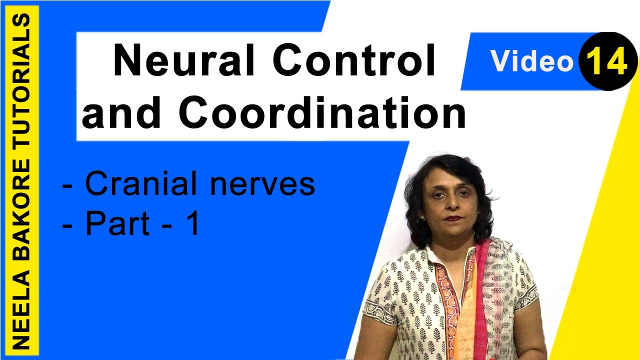 neural control and coordination Class 11 biology notes chapter 21 neural control coordination pdf free download for cbse ncert exam preparation.