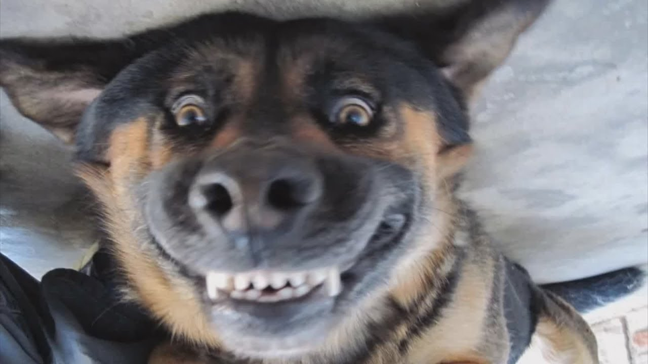 Dogs Smiling For Camera Compilation Youtube