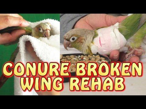 Green Cheek Conure Broken Wing Injury And Rehab