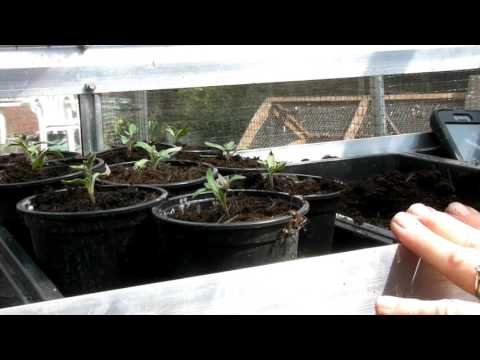 Potting up the Tomatoes Seedlings - Claire's Allotment - Part 318