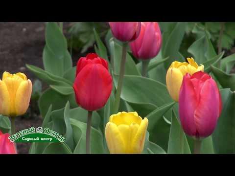 Не цветут тюльпаны