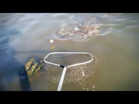 4.5 Kg Barbel Caught In Modderfontein Edenvale