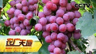 """《农广天地》 20190717 宾川""""可人儿"""" 香甜俏葡萄  CCTV农业"""