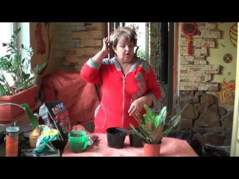 Кодиеум ( Кротон) . Капризное  Растение и Советы По Его Содержанию