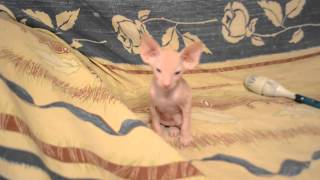 Котята Петербургского сфинкса(Петерболд) 1 мес 12 дней