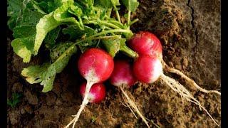 Cultivar rábano - Jardinería
