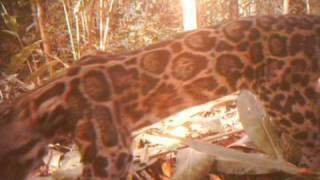 Unique footage of clouded leopard thumbnail