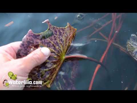 Осторожно Бабочка Огнёвка Вредитель номер один для водяных лилий