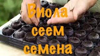Виола (анютины глазки). Посев семян на рассаду. Результаты всходов на 10-й день.