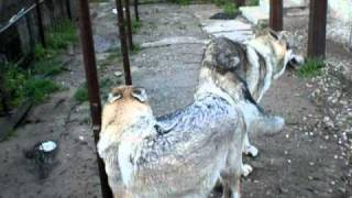 mating dogs 8