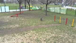 Schnauzer Hunting A Jack Russel